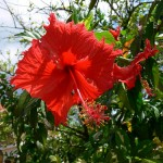 Der Rote Hibiscus in Jamaika